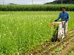 喜界島産白ごま 収穫