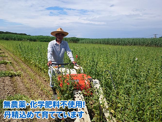 喜界島産白ごまは無農薬・化学肥料不使用で育てています